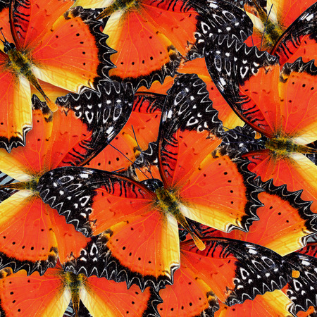 lacewing: Beautiful orange and black background pattern made of Red Lacewing butterflies Stock Photo