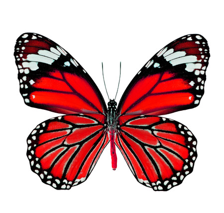 butterfly wings: Beautiful Red Butterfly in fancy color isolated on white background Stock Photo