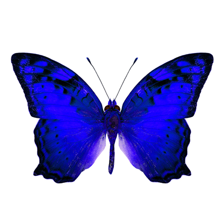 vagrant: Beautiful Vagrant Butterfly upper wing in fancy blue color profile isolated on white background