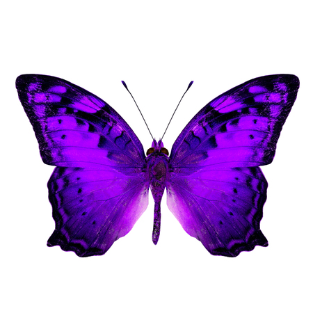 vagrant: Beautiful Vagrant Butterfly upper wing in fancy purple color profile isolated on white background