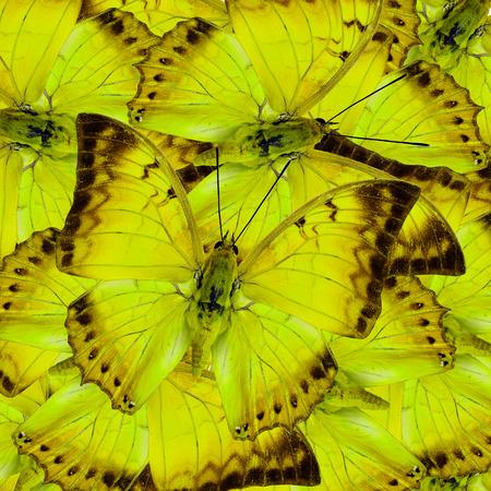 mariposas amarillas: Mariposas amarillas hermosas en pleno encuadre mezclado como el gran textura de fondo