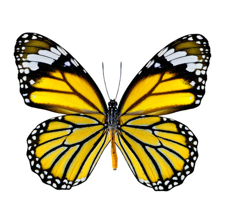 yellow butterfly: Beautiful Yellow Butterfly in fancy color isolated on white background Stock Photo
