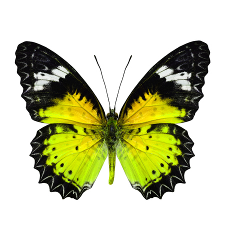 mormon: Beautiful Yellow Butterfly in fancy color profile isolated on white background Stock Photo