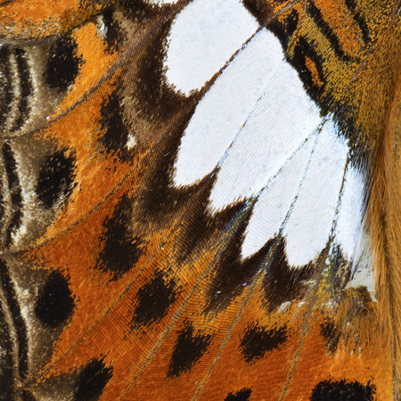 commander: Close up of Common Commander Butterfly wing skin texture