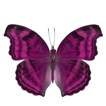 pink butterfly: Elegant sweet pink butterfly in fancy color isolated on white background