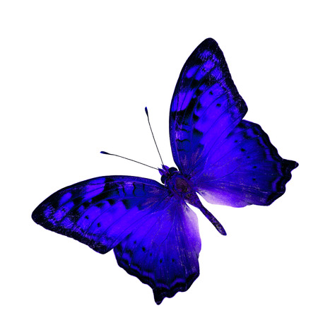 vagrant: Exotic Flying Dark Blue Butterfly in fancy color profile isolated on white background (Vagrant Butterfly)