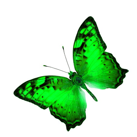 vagrant: Exotic Flying Green Butterfly in fancy color profile isolated on white background (Vagrant Butterfly)