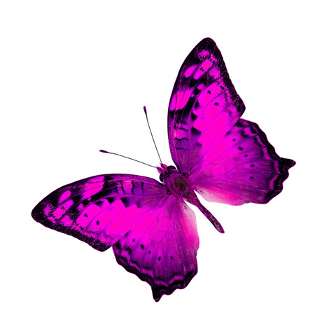 vagrant: Exotic Flying Pink Butterfly in fancy color profile isolated on white background (Vagrant Butterfly) Stock Photo