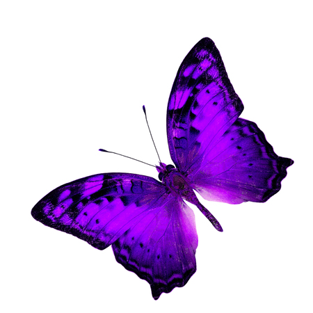 vagrant: Exotic Flying Purple Butterfly in fancy color profile isolated on white background (Vagrant Butterfly)