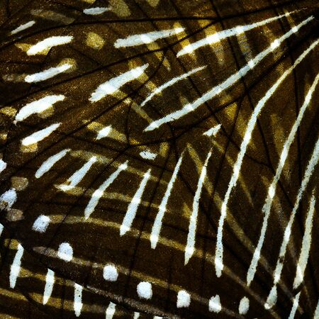 tiger stripe: Exotic Tiger Stripe texture made of  Stripe Blue Crow butterfly wing skin