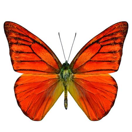 Orange Albatros Schmetterling (Appais Nero) obere Flügelprofil in natürlicher Farbe auf weißem Hintergrund Standard-Bild