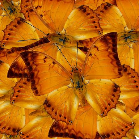 rajah: Pile up of Malay Rajah Butterflies in full framing