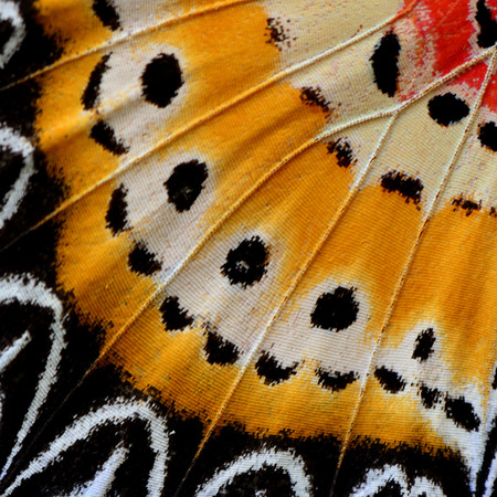 lacewing: The beautiful texture of Leopard Lacewing Butterflys wing skin