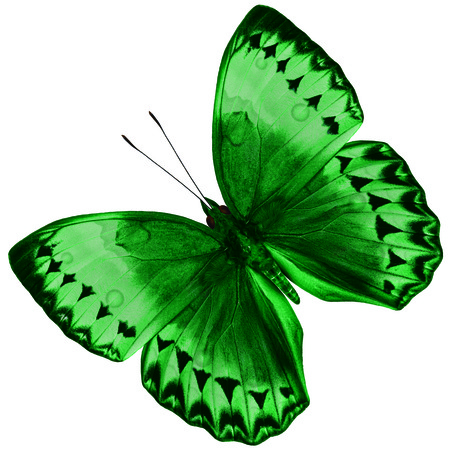 mariposa verde: Beautiful Green Butterfly (Cambodia Junglequeen) isolated on white background with nice color profile and details