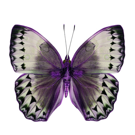 wing span: Beautiful Purple and Grey Butterfly (Cambodia Junglequeen in fancy color scheme) isolated on white background Stock Photo
