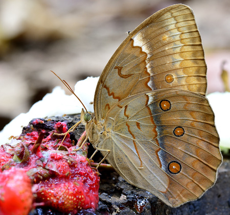 beautiful rare: Close up of beautiful butterfly in nature, Cambodian Junglequeen, the very rare butterfly in Thailand, sipping syrup from sweet red fruit on the ground Stock Photo