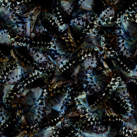 wing span: Exotic Grey and Black Background made of Cambodian Junglequeen Butterflies in the greatest design and pattern