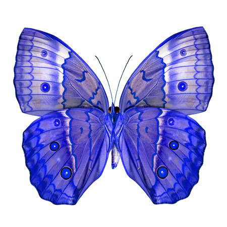 wing span: Exotivc Blue Butterfly (Cambodia Junglequeen butterfly in fancy color) isolated on white background