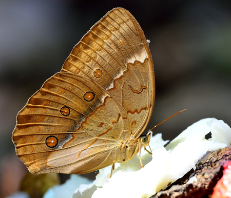 beautiful rare: Grace of beautiful butterfly in nature, Cambodian Junglequeen, the very rare butterfly in Thailand, sipping syrup from sweet coconut pulp fruit on the ground Stock Photo