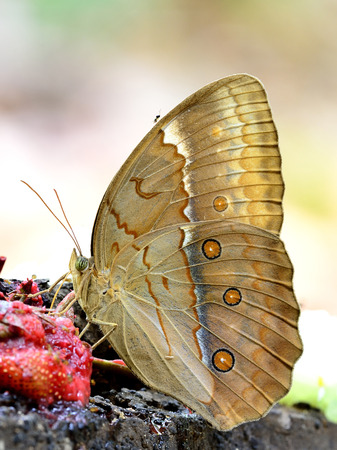 beautiful rare: Grace of beautiful butterfly in nature, Cambodian Junglequeen, the very rare butterfly in Thailand, sipping syrup from sweet red fruit on the ground with nice blur background Stock Photo