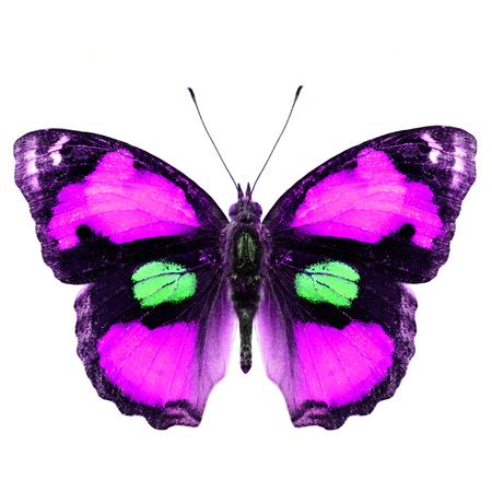 pink butterfly: Exotic Pink butterfly (yellow pansy) isolated on white background upper wing in fancy color profile Stock Photo