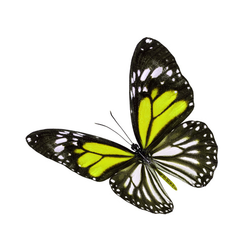yellow butterfly: Beautiful flying yellow butterfly with wings stretched isolated on white background