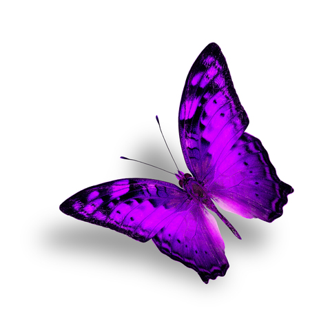 vagrant: Beautiful Flying Vagrant Butterfly in fancy purple color profile on white background with nice soft shadow