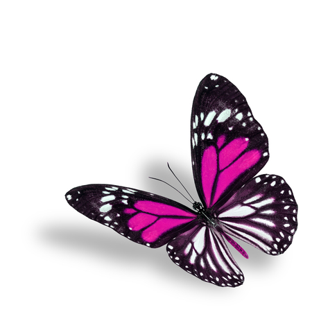 pink butterfly: Exotic flyhing pink butterfly on white background with soft shadow beneath