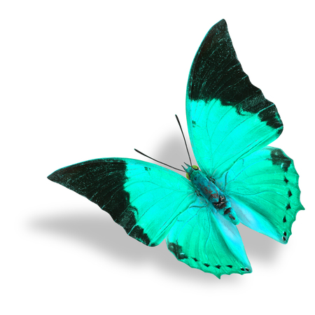 rajah: Beautiful flying light blue and black wing tip butterfly (Tawny Rajah) on white background with soft shadow