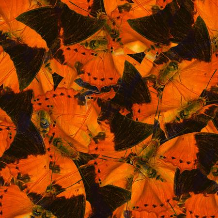 rajah: Beautiful Orange and Black Background Texture made of Tawny Rajah Butterflies