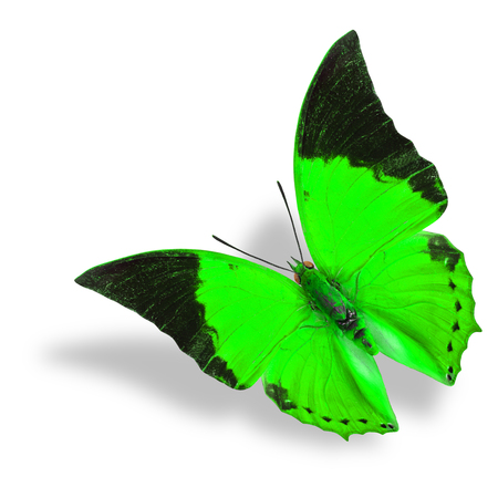 rajah: Beautiful flying green and black wing tip butterfly (Tawny Rajah) on white background with soft shadow