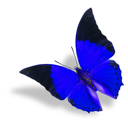 rajah: Beautiful flying blue and black wing tip butterfly (Tawny Rajah) on white background with soft shadow