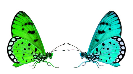facing each other: Beautiful Green butterflies facing each other on the white background