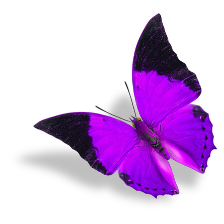 rajah: Beautiful flying purple and black wing tip butterfly (Tawny Rajah) on white background with soft shadow