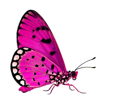pink butterfly: The beautiful pink butterfly standing on white floor