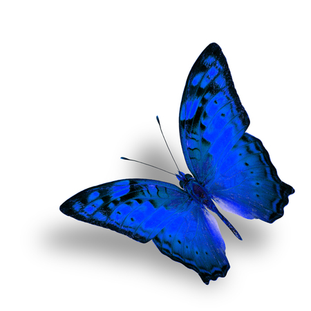 vagrant: Beautiful Flying Vagrant Butterfly in fancy blue color profile on white background with nice soft shadow