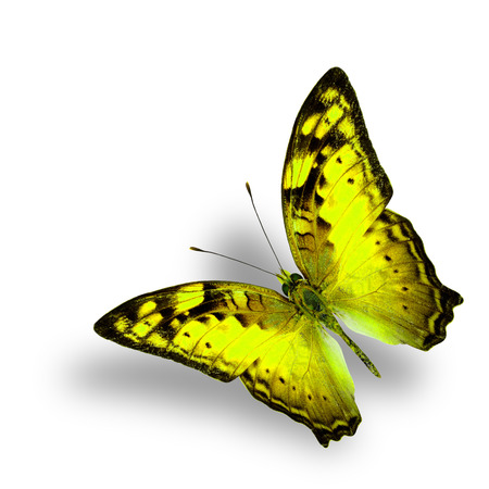 vagrant: Beautiful Flying Vagrant Butterfly in fancy yellow color profile on white background with nice soft shadow
