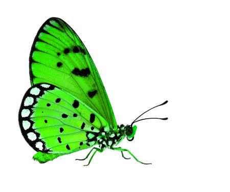 mariposa verde: La hermosa mariposa verde de pie en el suelo blanco
