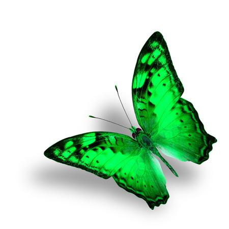 vagrant: Beautiful Flying Vagrant Butterfly in fancy green color profile on white background with nice soft shadow Stock Photo