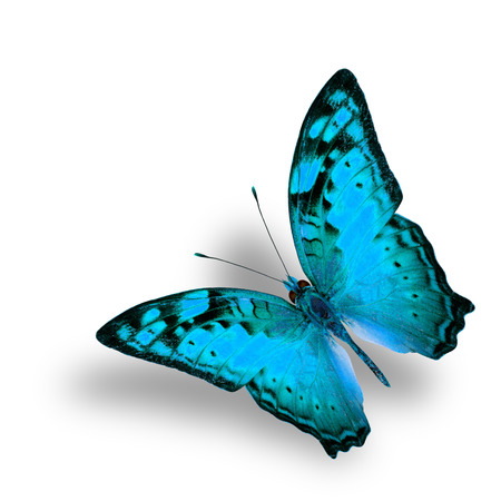 vagrant: Beautiful Flying Vagrant Butterfly in fancy light blue color profile on white background with nice soft shadow Stock Photo