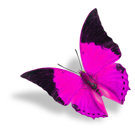 rajah: Beautiful flying pink and black wing tip butterfly (Tawny Rajah) on white background with soft shadow