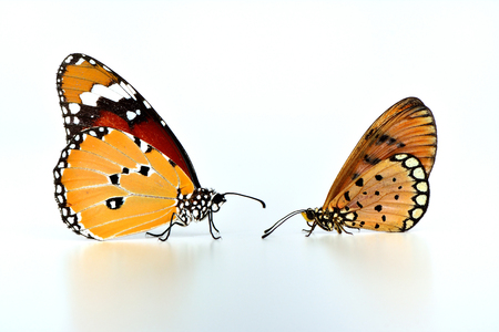 tawny: Tawny Coster (Acraea terpsicore) and Plain Tiger (Danaus chrysippus) also known as African monarch facing each other on white background Stock Photo