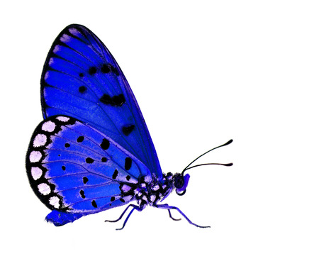 mariposa azul: The beautiful blue butterfly standing on white floor