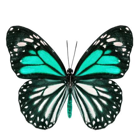 mariposa verde: Hermosa mariposa de color verde p�lido con las alas extendidas en el color de lujo aisladas sobre fondo blanco