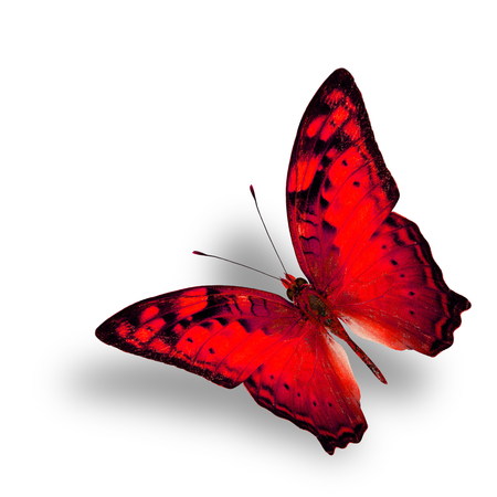 vagrant: Beautiful Flying Vagrant Butterfly in fancy red color profile on white background with nice soft shadow
