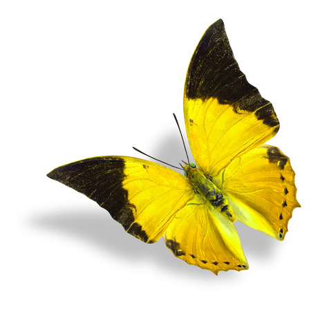 tawny: Beautiful flying yellow and black wing tip butterfly (Tawny Rajah) on white background with soft shadow