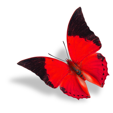 rajah: Beautiful flying red and black wing tip butterfly (Tawny Rajah) on white background with soft shadow
