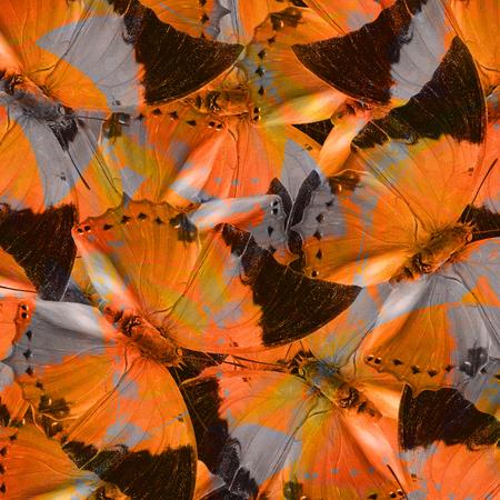 rajah: Beautiful Orange and Grey Background Texture made of Tawny Rajah Butterflies