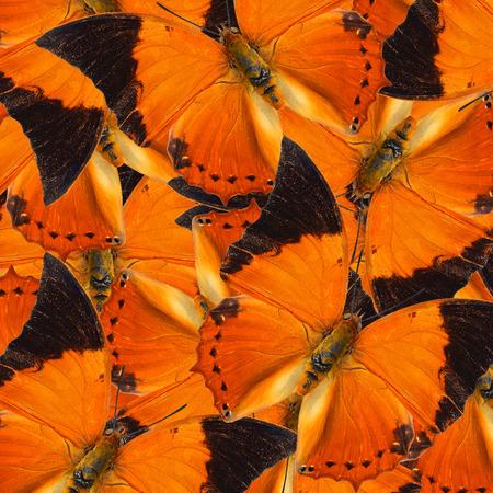rajah: Beautiful Orange Background Texture made of Tawny Rajah Butterflies