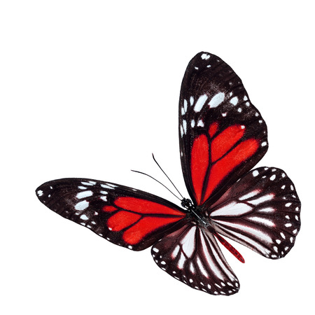 Beautiful flying red butterfly with wings stretched isolated on white background